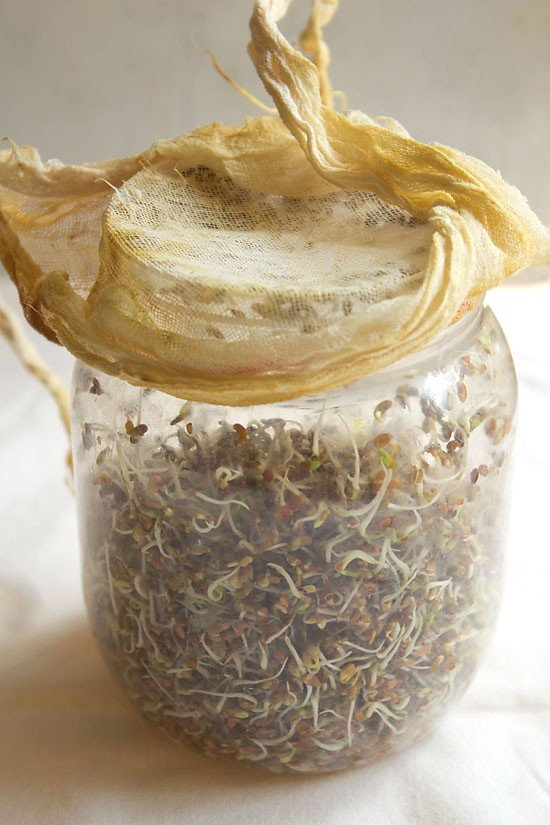 alfalfa sprouts at home