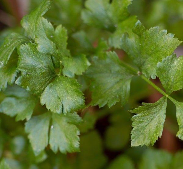 celery for veg fried rice recipe